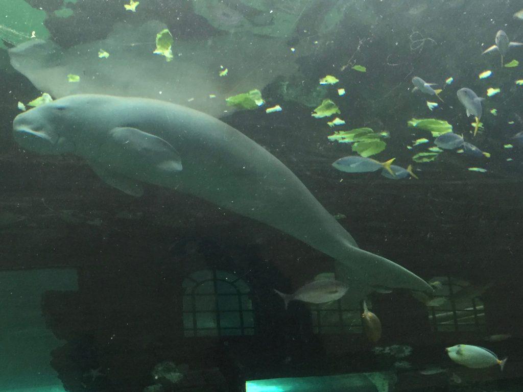 A dugong!
